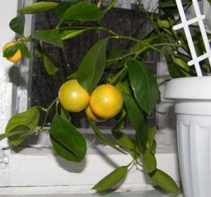каламондин - плоды